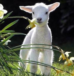 agneau de laine