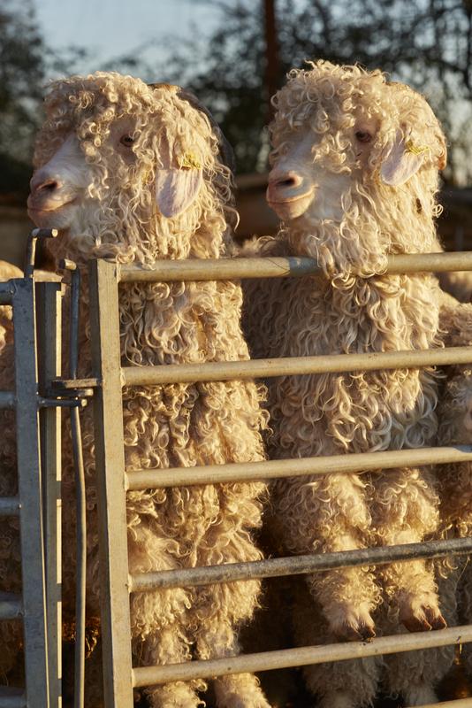 chèvres mohair