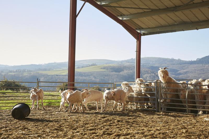 troupeau de chèvres mohair