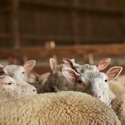 pure laine vierge de nos moutons
